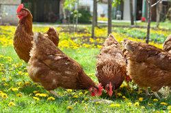 Hühner lieben Sonne und Tageslicht.