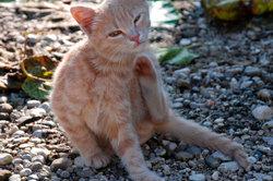 Vorsicht bei Parasiten: Flöhe und Haarlinge können Bandwürmer auf Ihre Katze übertragen!