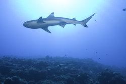 """Tatsächlich können Haie nicht rückwärts schwimmen. Was aber hat das mit """"Twilight"""" zu tun?"""