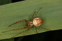Riesenkrabbenspinnen weben keine Netze für die Beutejagd.