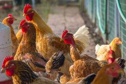 Verschiedene Hühnerrassen artgerecht halten