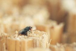 Kleine Fliegen werden häufig von offenen Lebensmitteln angelockt.