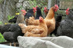 Rassehühner wegen der Wirtschaftlichkeit aussuchen
