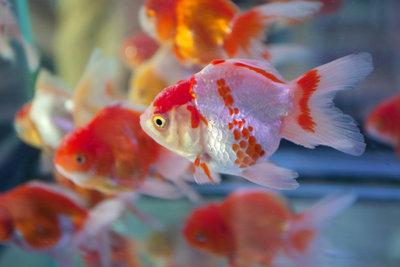Goldfische verändern häufig ihre Farbe.