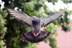 Tauben können sehr schnell und weit fliegen.