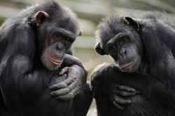 Schimpansen gehen in Kleingruppen auf die Jagd