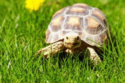 Mini-Schildkröte artgerecht in einem Gehege halten