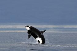 Schwertwale sind die größten Delfine der Erde.