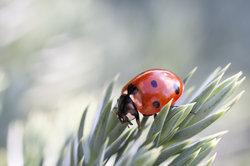 Marienkäfer sind beliebte Glücksbringer.