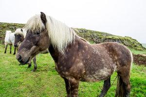 Ein windfarbenes Islandpferd: Hier ist die charakteristische Äpfelung besonders deutlich zu sehen.