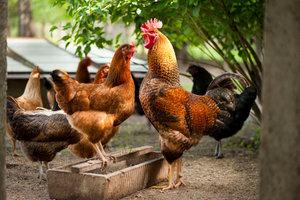 Ein unkastrierter Hahn hat einen roten Kamm und Bartlappen, beim Kapaun bleichen sie aus.