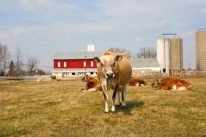 Jersey-Rinder gehören zu den kleineren Rassen.