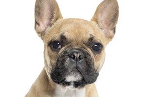 Die Französiche Bulldogge schon im Welpenalter erziehen