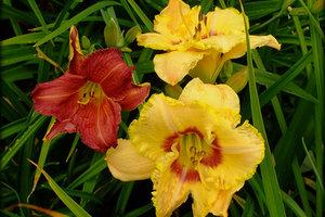 Leuchtkraft pur: Taglilien