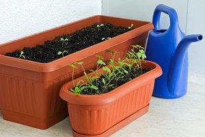 Im Winter bleiben die zarten Pflänzlein noch in der schützenden Wohnung.