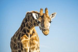Die meisten Laute der Giraffe sind für Menschen nicht zu hören.