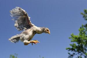 Sulmtaler Hühner fliegen gerne.