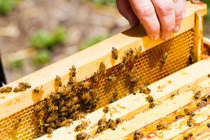 Bienen produzieren zum Schutz ihres Stockes Propolis