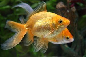 Goldfische können ein aggressives Verhalten zeigen.