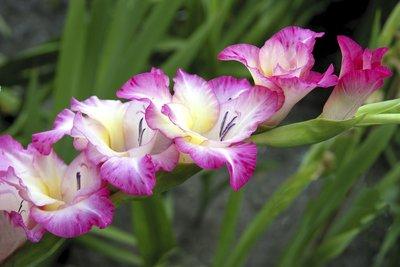Gladiolen sind in jedem Garten ein Hingucker.