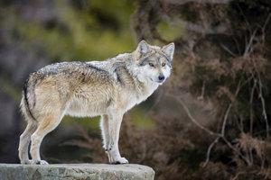 Der Wolf gehört zu den artgeschützten Wildtieren.