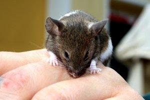 Die Maus: Eigentlich ganz niedlich