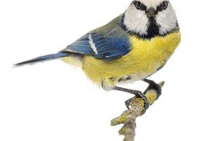 Blaumeisen mögen Fettfutter, Sonnenblumenkerne, Nüsse und Meisenknödel.