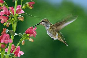 Ein Kolibri im Schwirrflug