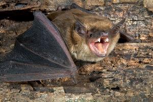 Fledermäuse suchen auch in Kaminen einen Unterschlupf.