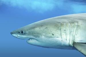 Deutlich sind bei diesem Hai die fünf Kiemenspalten zu sehen.