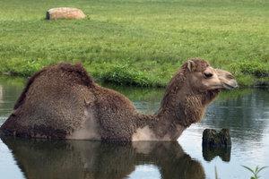 An heißen Tagen gehen Kamele manchmal gerne ins Wasser. Sonst sind sie eher wasserscheu.