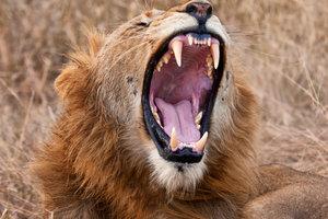 Das Gebiss des Löwen ist der Aufnahme seiner Nahrung angepasst.