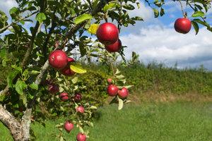 Bevor der gezüchtete Apfelbaum die ersten Früchte trägt, brauchen Sie Geduld.
