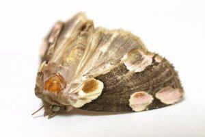Nachtfalter gehören zur Familie der Schmetterlinge.