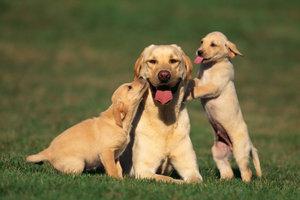 Der Labrador Retriever - die beliebteste kurzhaarige Retrieverrasse in Deutschland