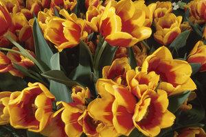Tulpen und vieles mehr - der Hollandmarkt hat so vieles zu bieten.