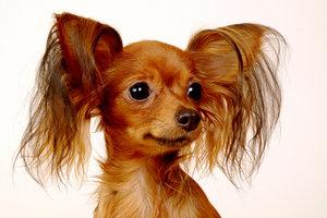 Markenzeichen des Russkiy Toy - die längeren Haare an den Ohren.