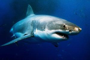 Der inzwischen seltene Weiße Hai.