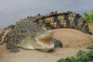 Dieses Krokodil zeigt sich als gefährlicher Räuber.