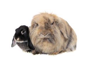 Zwergwidderkaninchen mit ihren herabhängenden Ohren sind eine beliebte Kaninchenrasse in Deutschland