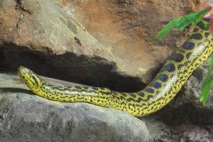 Gelbe Anakonda artgerecht in einem Aquaterrarium halten
