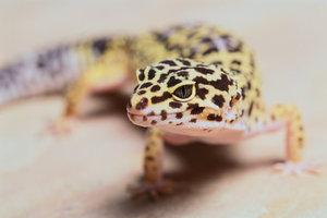 Leopardengeckos suchen gerne warme Sonnenplätze auf.