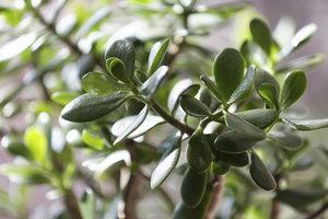Der Glücksbaum ist eine robuste und anspruchslose Pflanze.