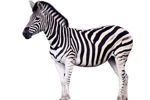 Wem gehört das Zebra?