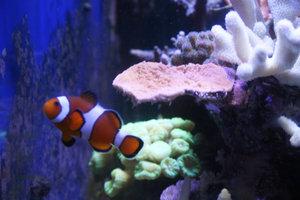 Der Clownfisch (A. percula) ist eher leicht zu pflegen.