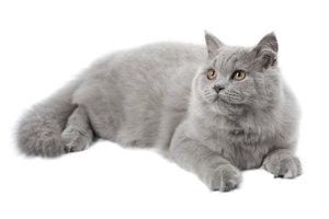 Britisch-Langhaar-Katzen sind die Langhaar-Variante der Britisch-Kurzhaar-Katzen.