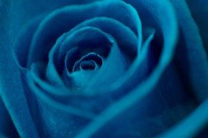 Blaue Rosen symbolisieren nicht nur die Freiheit, sondern auch die Treue.
