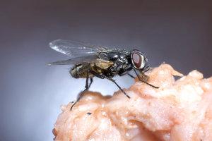 Werden Aus Maden Fliegen