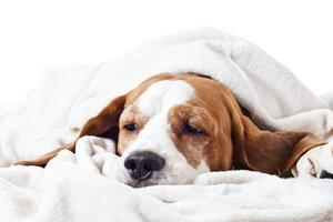 Müde, lustlos, gefurchte Stirn - hat dieser Hund Schmerzen?