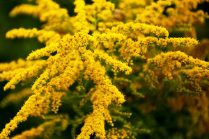 Die Goldrute gehört zu den Heilpflanzen.